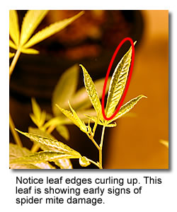 Image of cannabis leaf with spider mite damage